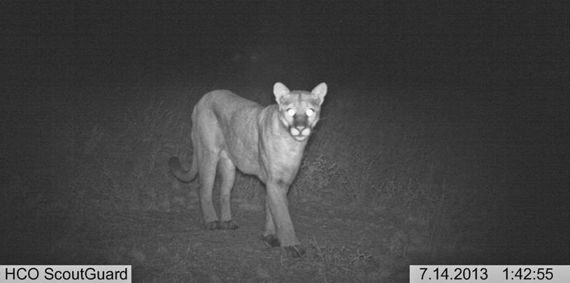 "Connecting ""Island"" Fragments: Finding The Mountain Lion"
