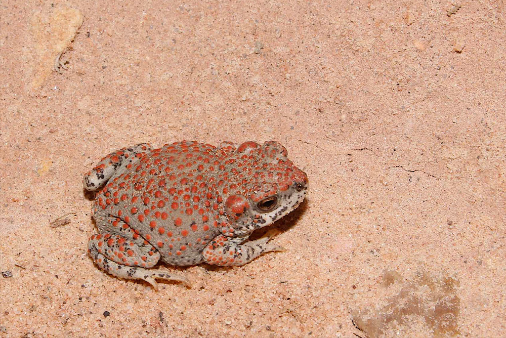 Red-spotted toad, Lara Schnellbach