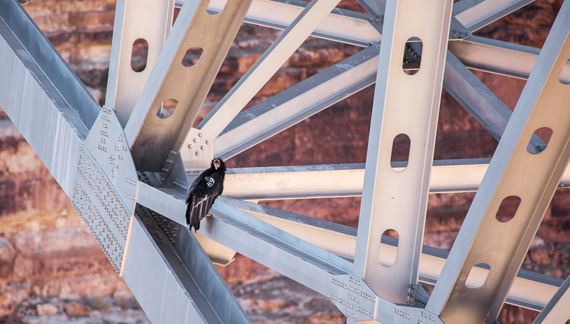 Condor on a bridge in Grand Canyon National Park. Photo by Ed Moss