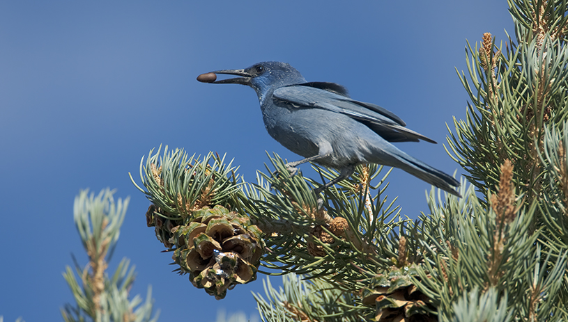 A pinyon jay carries a pinyon seed in its mouth