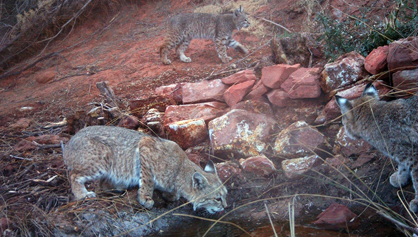 Bobcats, Grand Canyon spring