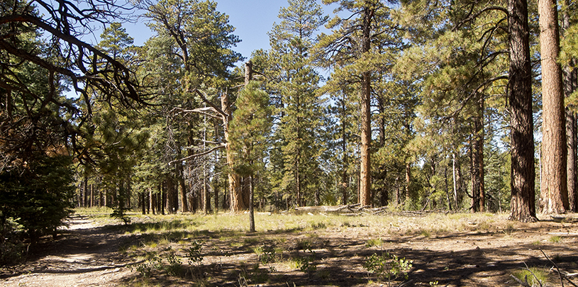 Action Alert Save Urban Forests Now American Forests >> 7 Reasons For Forest Restoration In Northern Arizona Grand