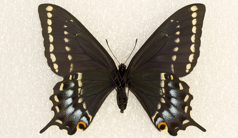 Kaibab swallowtail butterfly
