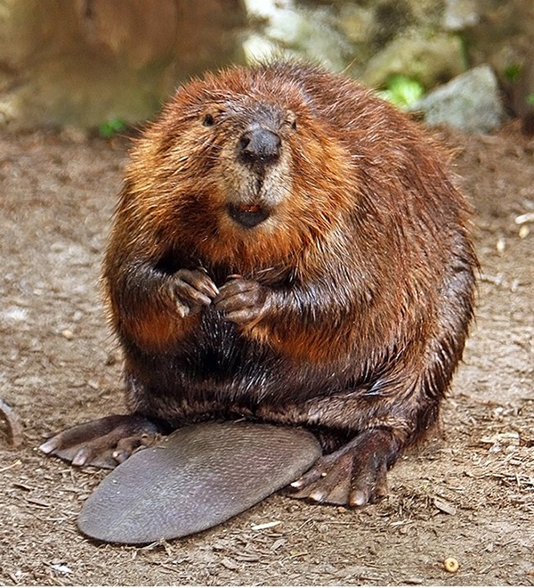 Utah Forests - Bringing beavers back home