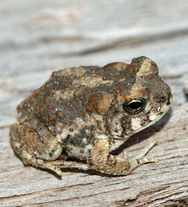 AZ Forest Restoration - Arizona Toad
