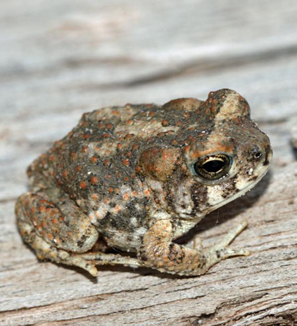 AZ Forest Restoration - Arizona Toad